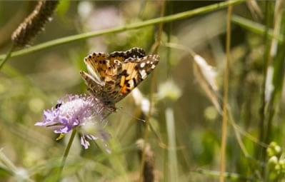 butterfly in field